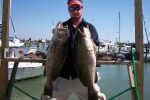 Two big gag (black) grouper